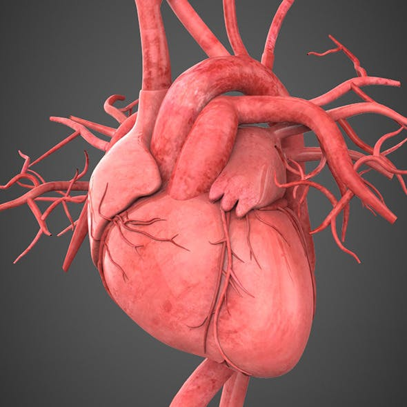 Realistic Human Heart - 3DOcean Item for Sale