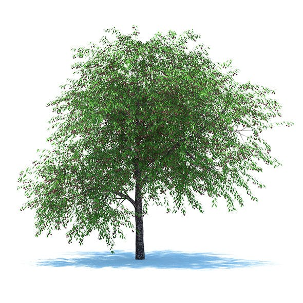 Cherry Tree with Berries - 3DOcean Item for Sale