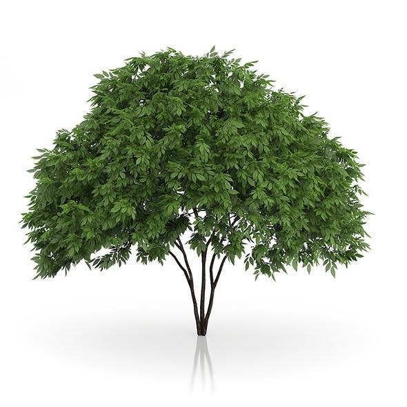 Elderberry Tree (Sambucus nigra) 2.5m - 3DOcean Item for Sale