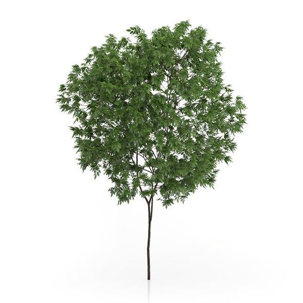 Elderberry Tree (Sambucus nigra) 3.3m - 3DOcean Item for Sale
