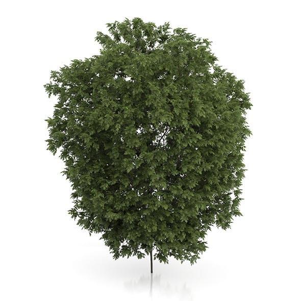 Hackberry Tree (Prunus padus) 3.5m - 3DOcean Item for Sale