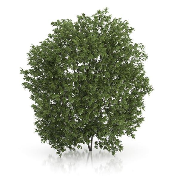Hackberry Tree (Prunus padus) 4.3m