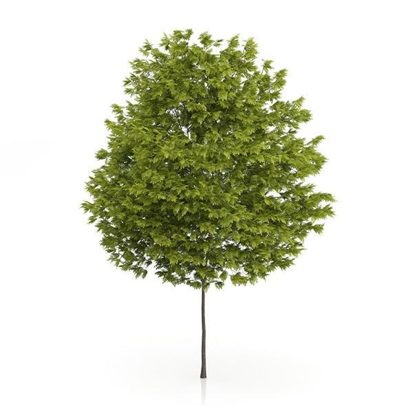 Honey Locust Tree (Gleditsia triacanthos) 10m - 3DOcean Item for Sale
