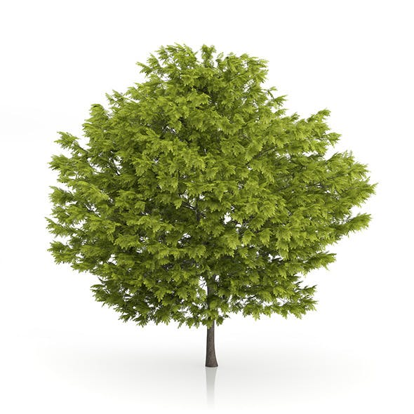 Honey Locust Tree (Gleditsia triacanthos) 5m - 3DOcean Item for Sale