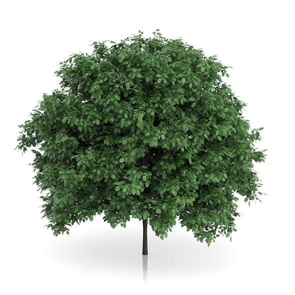 Common Hornbeam Tree (Carpinus betulus) 4.6m - 3DOcean Item for Sale