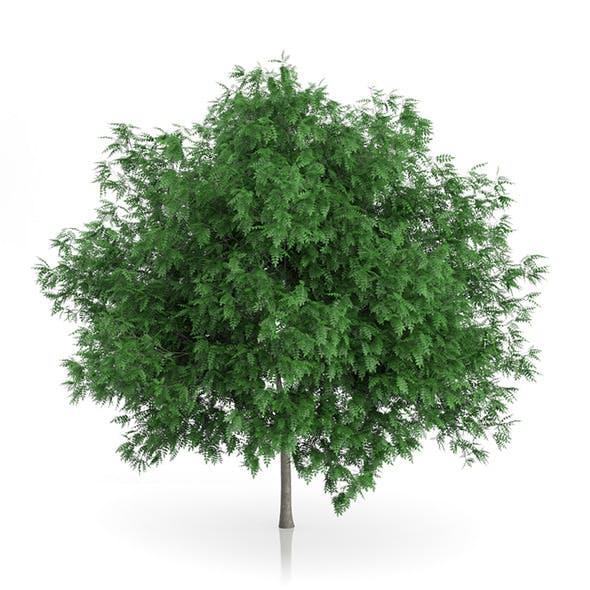 Rowan Tree (Sorbus aucuparia) 3m - 3DOcean Item for Sale