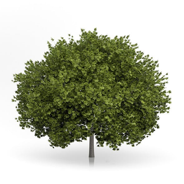 Norway Maple Tree (Acer platanoides) 6.7m - 3DOcean Item for Sale