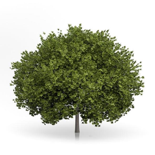 Norway Maple Tree (Acer platanoides) 6.7m
