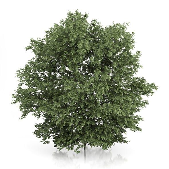 Common Hazel Tree (Corylus avellana) 4.2m - 3DOcean Item for Sale