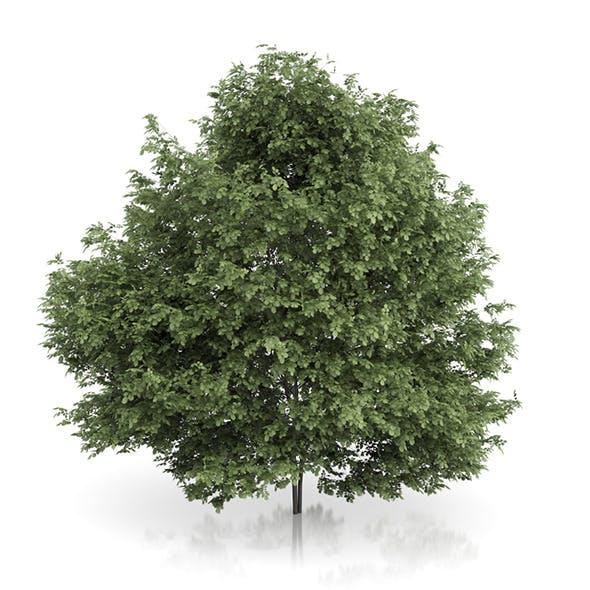 Common Hazel Tree (Corylus avellana) 4.6m - 3DOcean Item for Sale