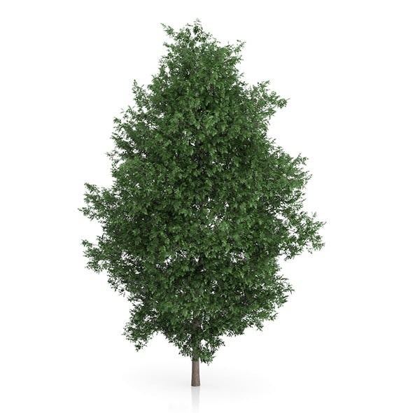 Large-leaved Lime Tree (Tilia platyphyllos) 9.8m - 3DOcean Item for Sale