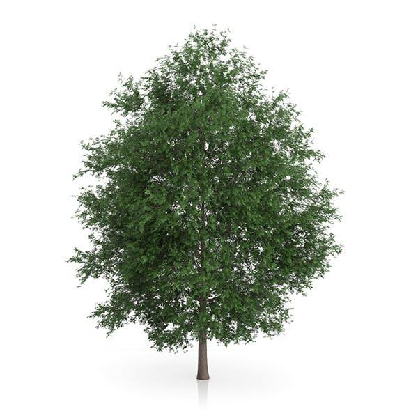 Large-leaved Lime Tree (Tilia platyphyllos) 5.6m - 3DOcean Item for Sale