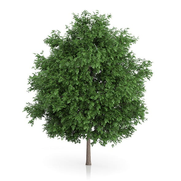 Large-leaved Lime Tree (Tilia platyphyllos) 7.2m - 3DOcean Item for Sale