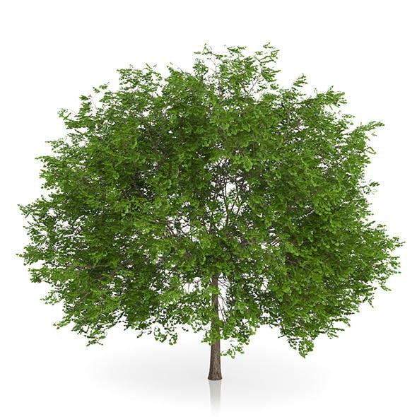 Maidenhair Tree (Ginkgo biloba) 5.2m - 3DOcean Item for Sale