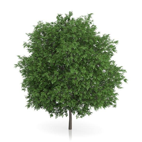 Common Walnut Tree (Juglans regia) 3m - 3DOcean Item for Sale