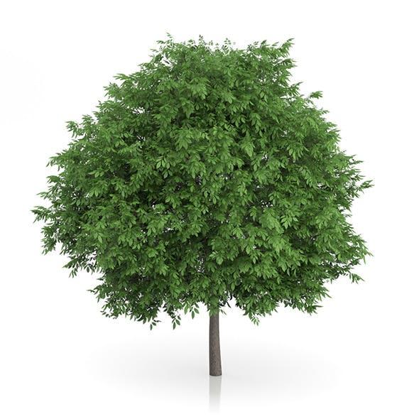 Common Walnut Tree (Juglans regia) 4.8m - 3DOcean Item for Sale