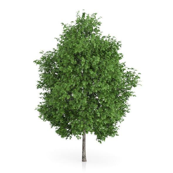 London Plane Tree (Platanus × acerifolia) 8.9m - 3DOcean Item for Sale