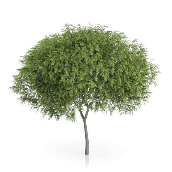 Staghorn Sumac Tree (Rhus typhina) 7.2m