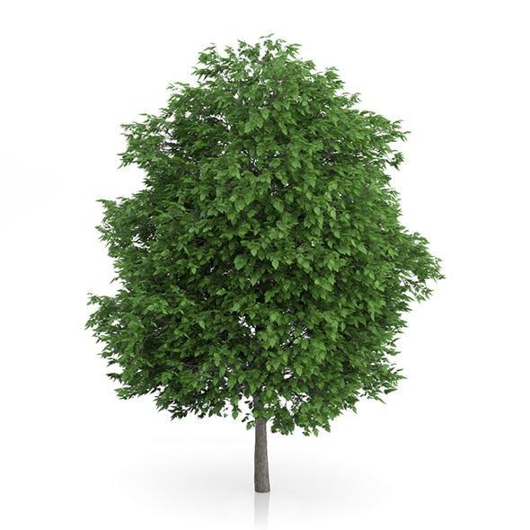 Cigar Tree (Catalpa bignonioides) 11m - 3DOcean Item for Sale