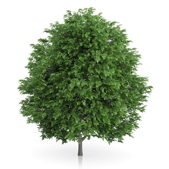 Cigar Tree (Catalpa bignonioides) 5m - 3DOcean Item for Sale