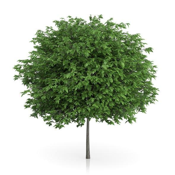 Cigar Tree (Catalpa bignonioides) 6.5m - 3DOcean Item for Sale
