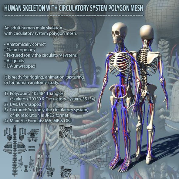 Human Skeleton with Circulatory System PolygonMesh
