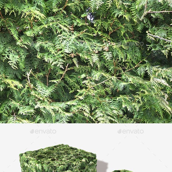 Fir Tree Seamless Texture