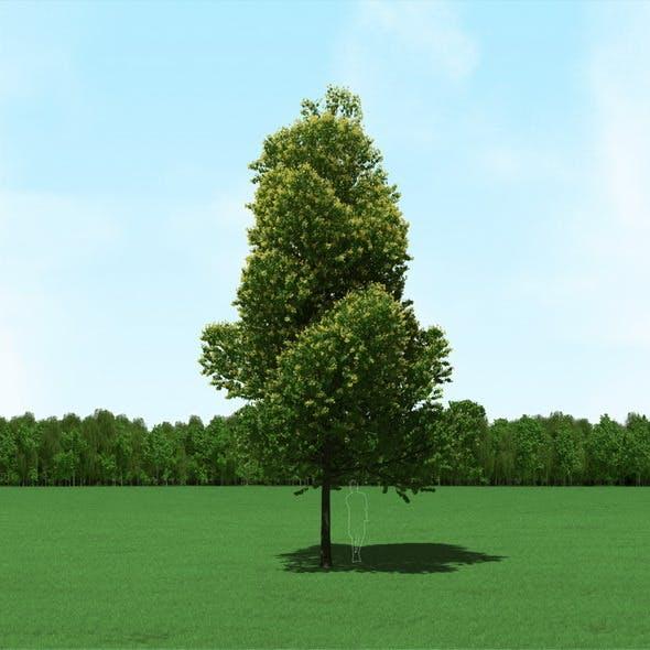 Blooming Tilia (Linden) Tree 3d Model.
