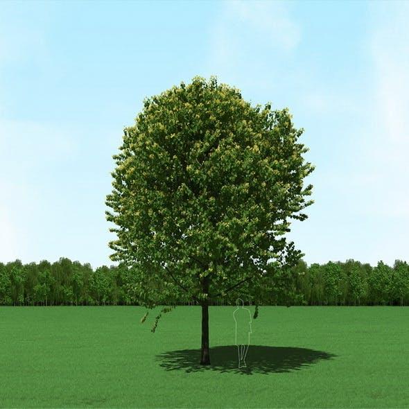 Blooming Tilia (Linden) Free Tree 3d Model
