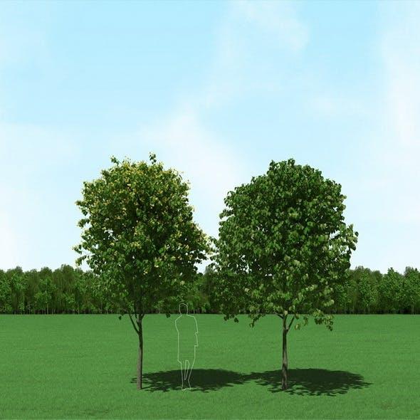 Blooming Tilia (Linden) Free Trees 3d Models