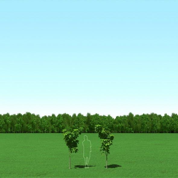 Blooming Chesstnut (Castanea) Trees 3d Models