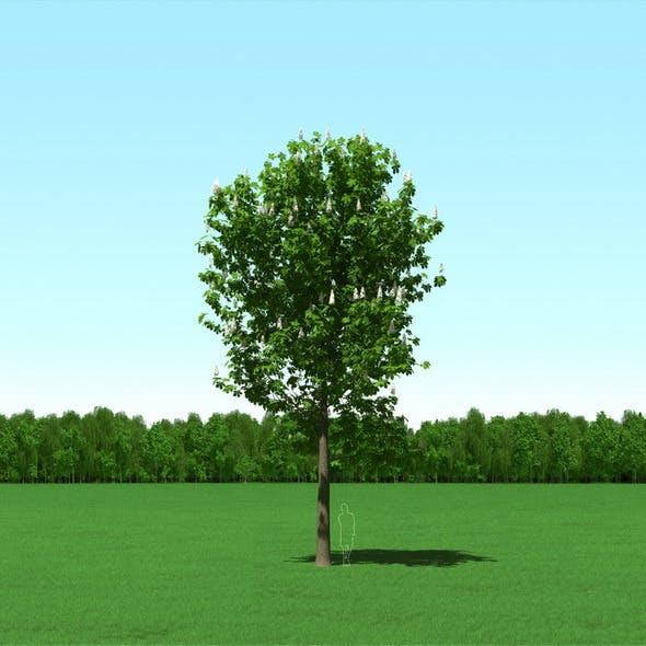 Blooming Chesstnut Tree (Castanea) 3d Model - 3DOcean Item for Sale