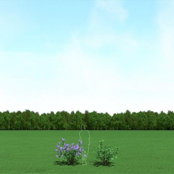 Blooming Syringa (Lilac)Trees 3d Models
