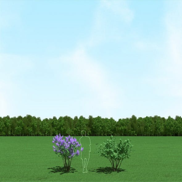 Blooming Syringa (Lilac) Trees 3d Models