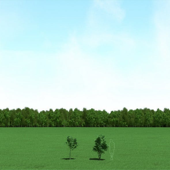 Maple (Acer) Trees 3d Models