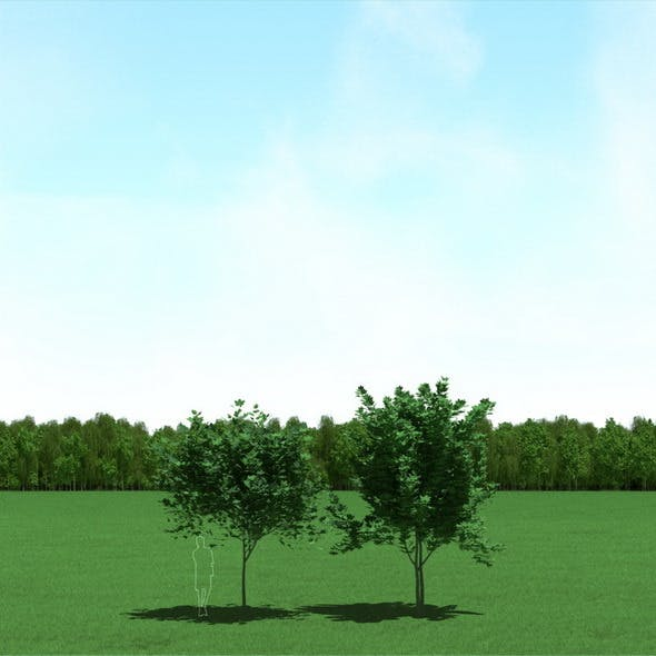 Maple (Acer) Trees 3d Models - 3DOcean Item for Sale