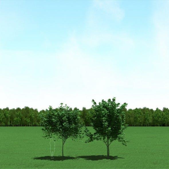 Maple (Acer) Trees 3d Models