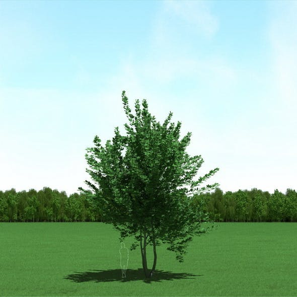 Maple (Acer) Tree 3d Model