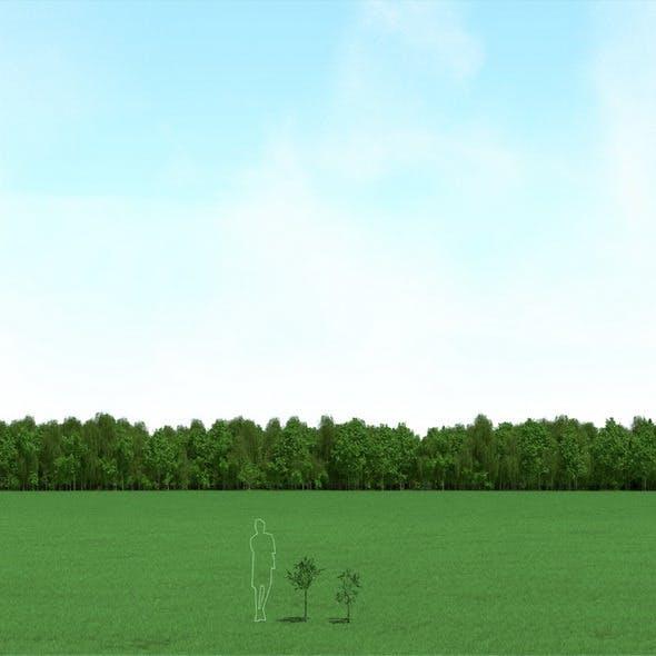 Willow (Salix) Trees 3d Models