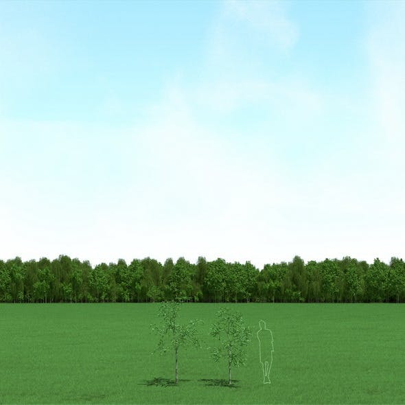 Willow (Salix) Trees 3d Models