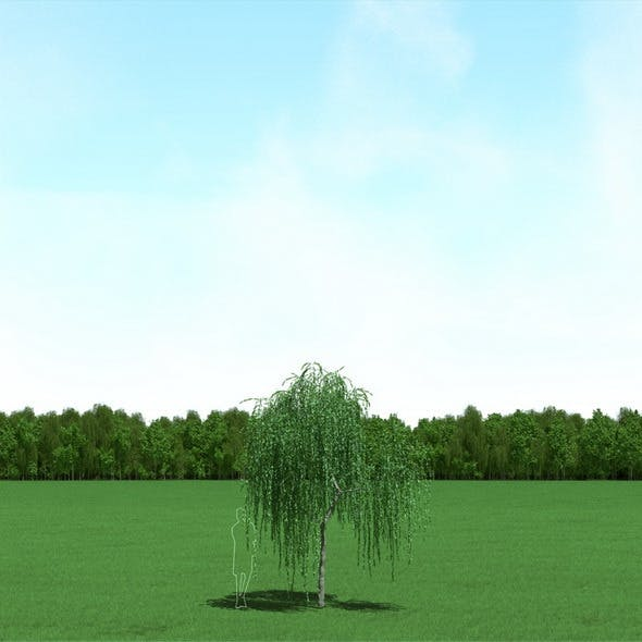 Willow (Salix) Tree 3d Model