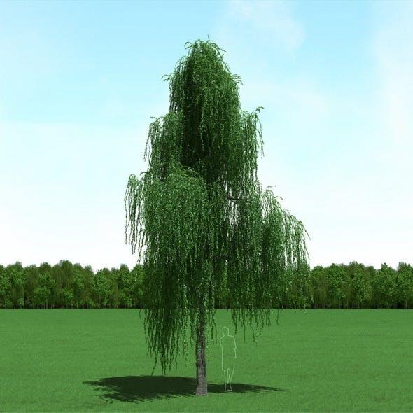 Willow (Salix) Tree 3d Model