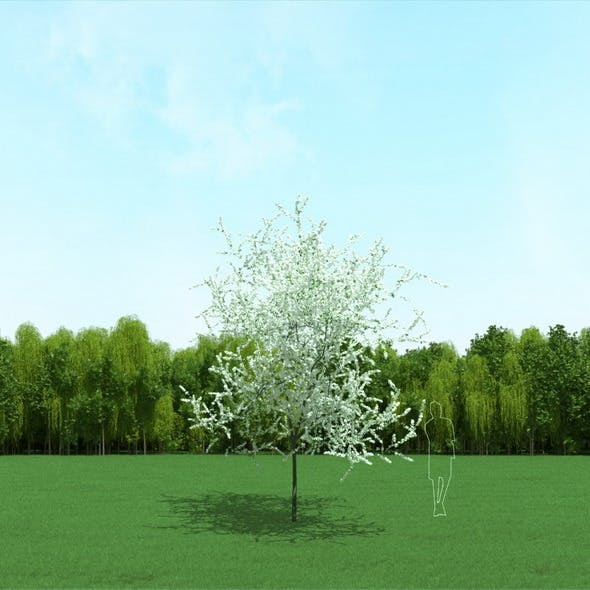 Blooming Cherry Tree 3d Model