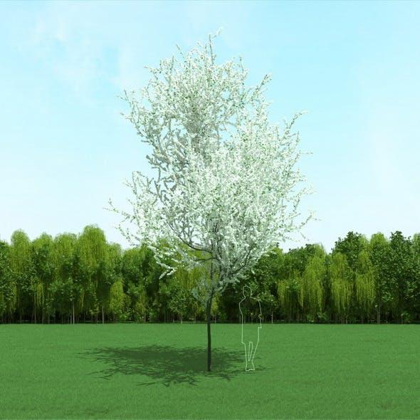 Blooming Cherry Tree 3d Model - 3DOcean Item for Sale
