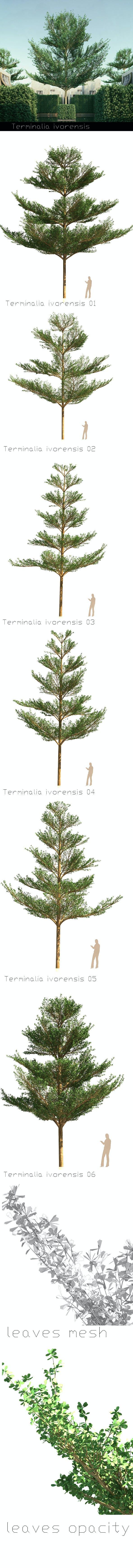 6 Terminalia ivorensis tree - 3DOcean Item for Sale