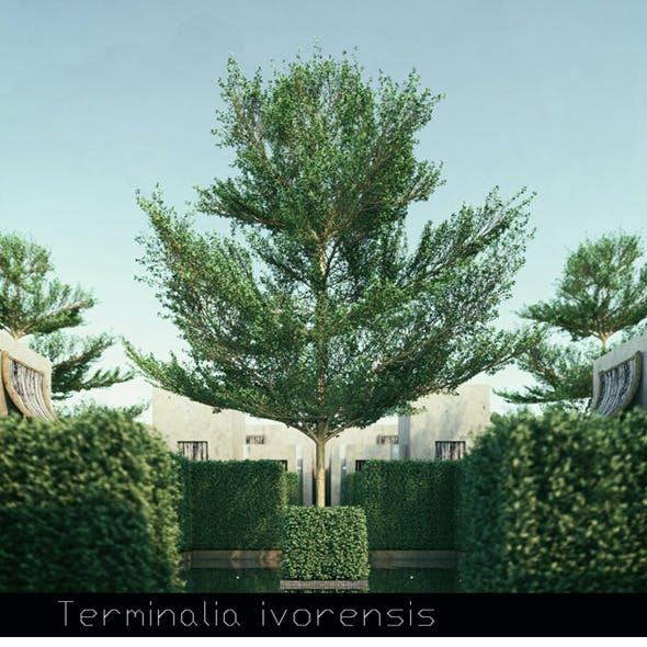 6 Terminalia ivorensis tree