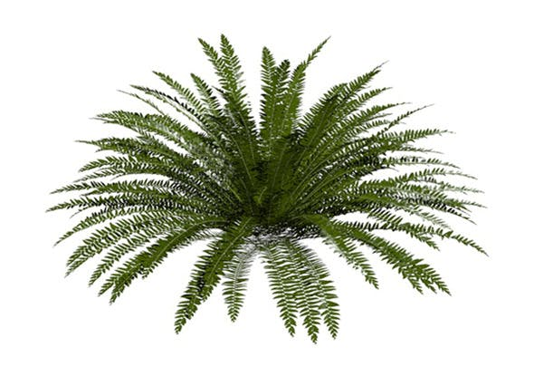 Evergreen Fern - 3DOcean Item for Sale