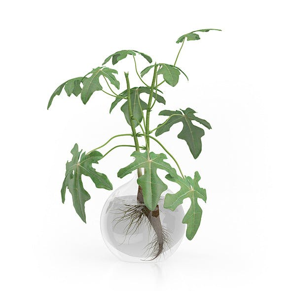 Fig Plant in Glass Vase
