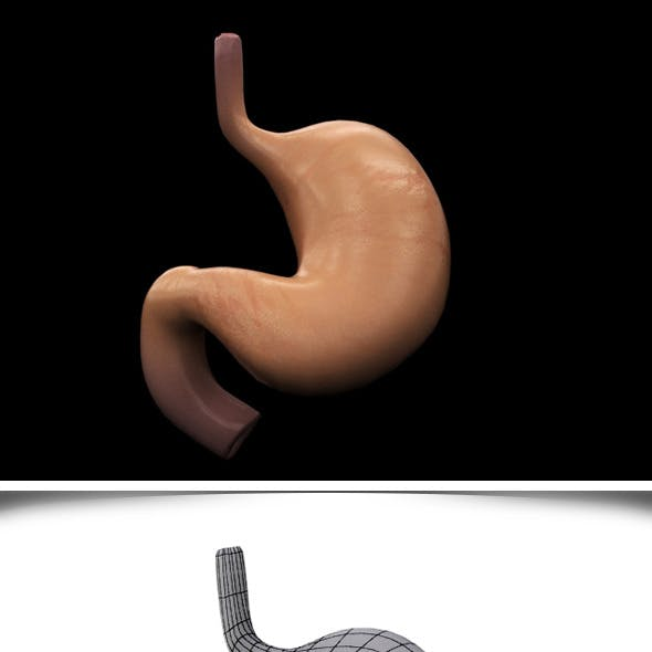 Realistic Human Stomach