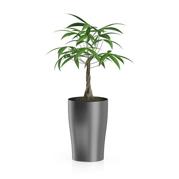 Money Tree in Dark Pot